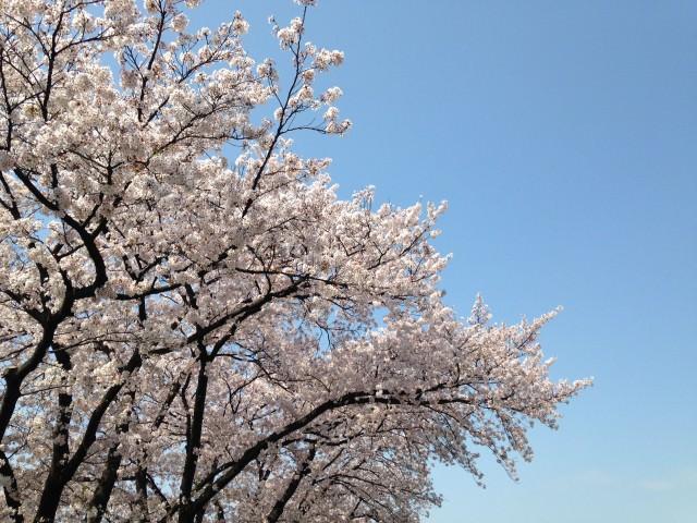 桜_新生活